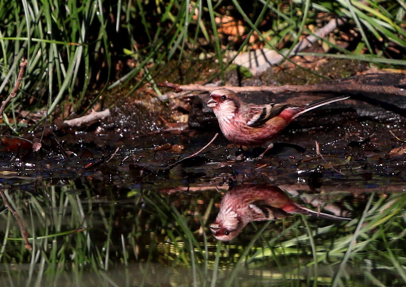 野鳥のオアシス その3(ベニマシコ)_f0239515_21142245.jpg