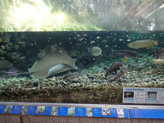 巨大淡水エイ「ヒマンチュラ・チャオプラヤ」と東京タワー水族館からやって来た魚たち(板橋区立熱帯環境植物館)_b0355317_22390057.jpg