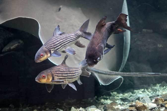 巨大淡水エイ「ヒマンチュラ・チャオプラヤ」と東京タワー水族館からやって来た魚たち(板橋区立熱帯環境植物館)_b0355317_22424950.jpg