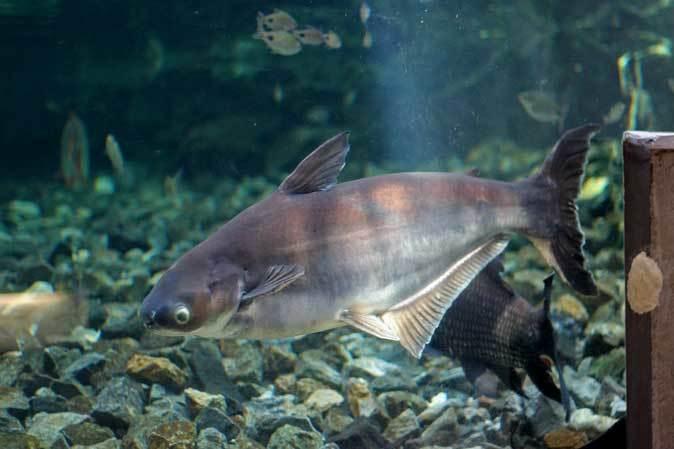 巨大淡水エイ「ヒマンチュラ・チャオプラヤ」と東京タワー水族館からやって来た魚たち(板橋区立熱帯環境植物館)_b0355317_22484745.jpg