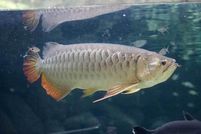 巨大淡水エイ「ヒマンチュラ・チャオプラヤ」と東京タワー水族館からやって来た魚たち(板橋区立熱帯環境植物館)_b0355317_22515473.jpg