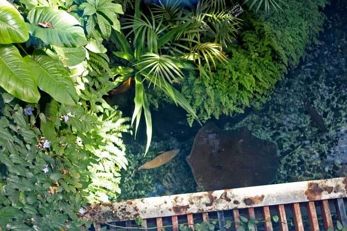 巨大淡水エイ「ヒマンチュラ・チャオプラヤ」と東京タワー水族館からやって来た魚たち(板橋区立熱帯環境植物館)_b0355317_22535379.jpg