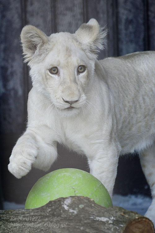 2019.11.4 東北サファリパーク☆ホワイトライオンのイチゴちゃん_<その2>【White lion】_f0250322_11241859.jpg