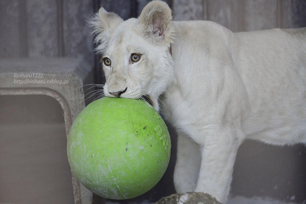2019.11.4 東北サファリパーク☆ホワイトライオンのイチゴちゃん_<その2>【White lion】_f0250322_11242465.jpg