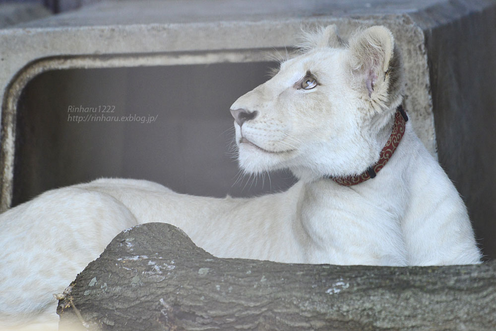 2019.11.4 東北サファリパーク☆ホワイトライオンのイチゴちゃん_<その2>【White lion】_f0250322_11243192.jpg