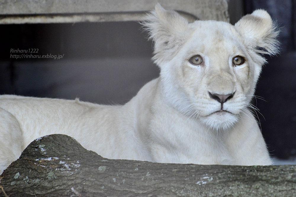 2019.11.4 東北サファリパーク☆ホワイトライオンのイチゴちゃん_<その2>【White lion】_f0250322_11243619.jpg