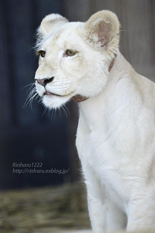 2019.11.4 東北サファリパーク☆ホワイトライオンのイチゴちゃん_<その2>【White lion】_f0250322_11244267.jpg