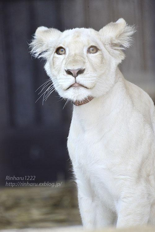 2019.11.4 東北サファリパーク☆ホワイトライオンのイチゴちゃん_<その2>【White lion】_f0250322_1124485.jpg