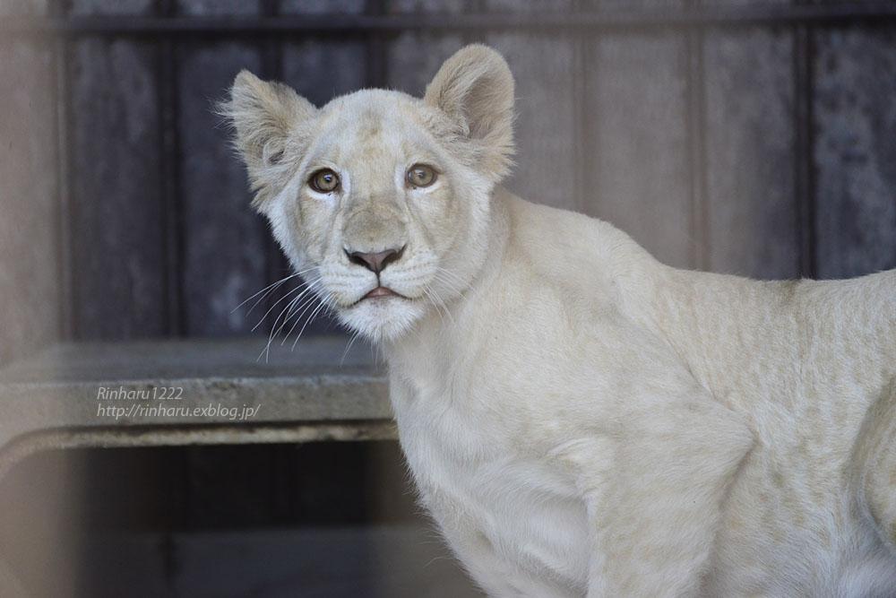 2019.11.4 東北サファリパーク☆ホワイトライオンのイチゴちゃん_<その2>【White lion】_f0250322_11245333.jpg