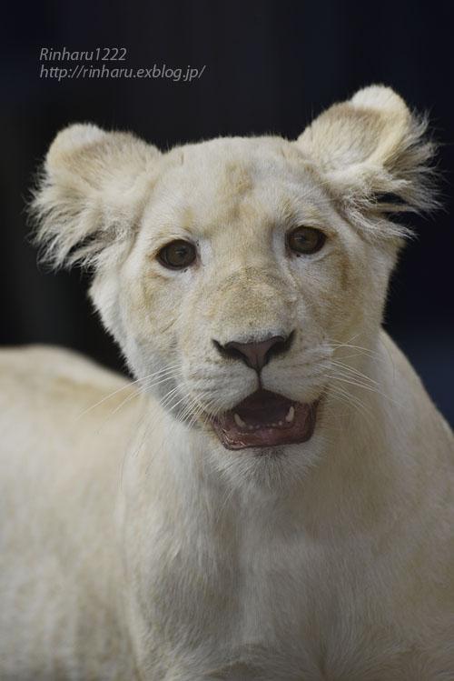 2019.11.4 東北サファリパーク☆ホワイトライオンのイチゴちゃん_<その2>【White lion】_f0250322_1125035.jpg