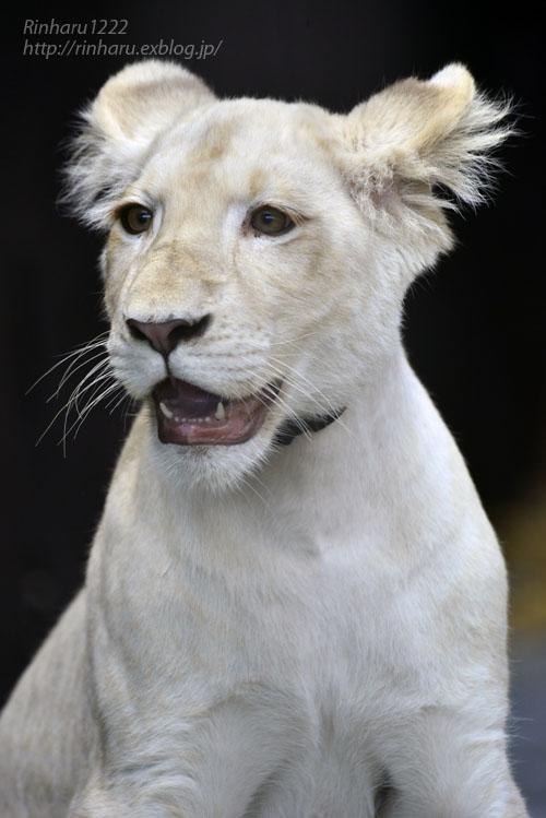 2019.11.4 東北サファリパーク☆ホワイトライオンのイチゴちゃん_<その2>【White lion】_f0250322_112512100.jpg