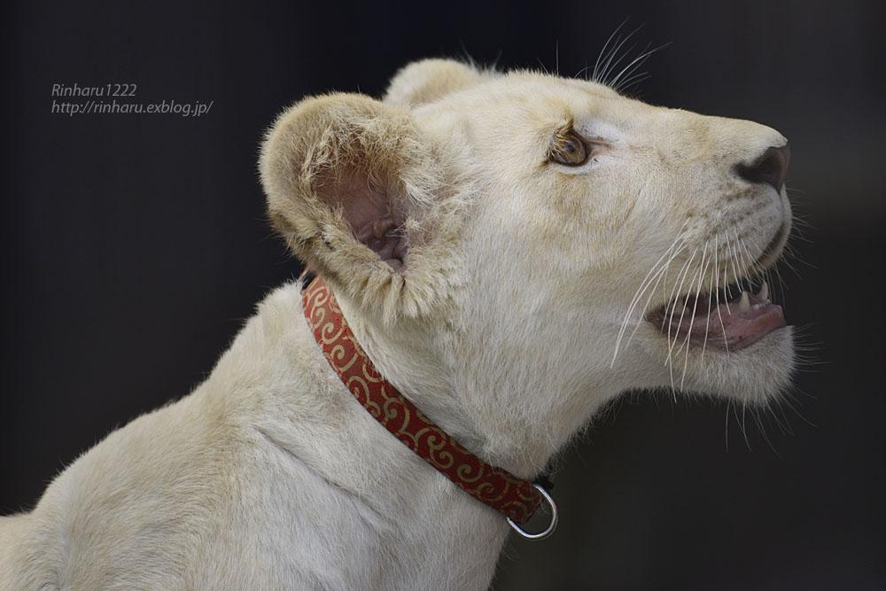 2019.11.4 東北サファリパーク☆ホワイトライオンのイチゴちゃん_<その2>【White lion】_f0250322_1125687.jpg