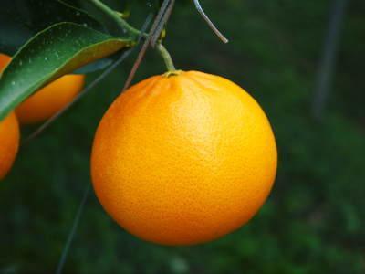 究極の柑橘「せとか」 令和2年も出荷は2月中旬より!収穫まで1ヶ月前の様子を現地取材(前編)_a0254656_17510833.jpg