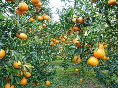 究極の柑橘「せとか」 令和2年も出荷は2月中旬より!収穫まで1ヶ月前の様子を現地取材(前編)_a0254656_17521819.jpg