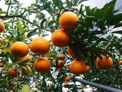 究極の柑橘「せとか」 令和2年も出荷は2月中旬より!収穫まで1ヶ月前の様子を現地取材(前編)_a0254656_17553758.jpg