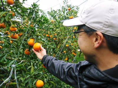 究極の柑橘「せとか」 令和2年も出荷は2月中旬より!収穫まで1ヶ月前の様子を現地取材(前編)_a0254656_18080184.jpg