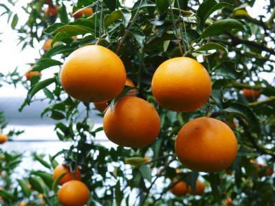 究極の柑橘「せとか」 令和2年も出荷は2月中旬より!収穫まで1ヶ月前の様子を現地取材(前編)_a0254656_18274270.jpg