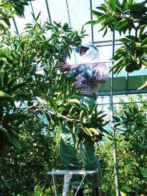 究極の柑橘「せとか」 令和2年も出荷は2月中旬より!収穫まで1ヶ月前の様子を現地取材(前編)_a0254656_18294828.jpg