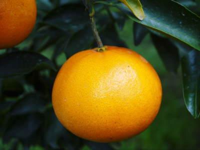 究極の柑橘「せとか」 令和2年も出荷は2月中旬より!収穫まで1ヶ月前の様子を現地取材(前編)_a0254656_18340863.jpg