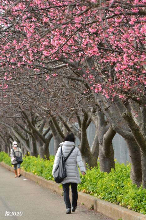 桜が見頃ですよ〜  ②_d0251161_15265453.jpg