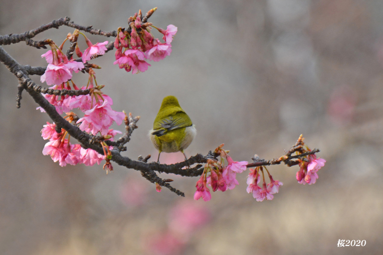 桜が見頃ですよ〜  ②_d0251161_15272451.jpg