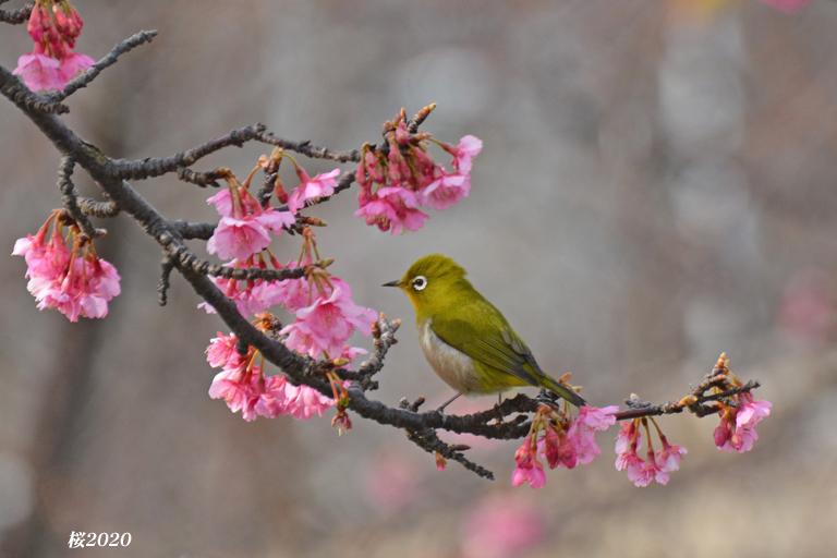 桜が見頃ですよ〜  ②_d0251161_15281132.jpg