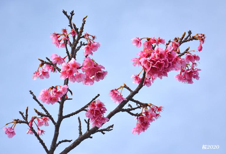 桜が見頃ですよ〜  ②_d0251161_15295178.jpg