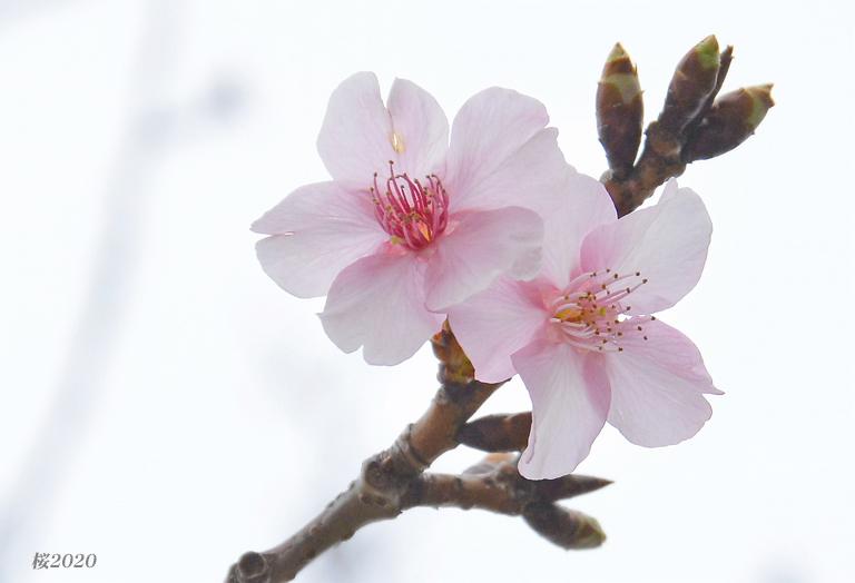 桜が見頃ですよ〜  ②_d0251161_15301736.jpg