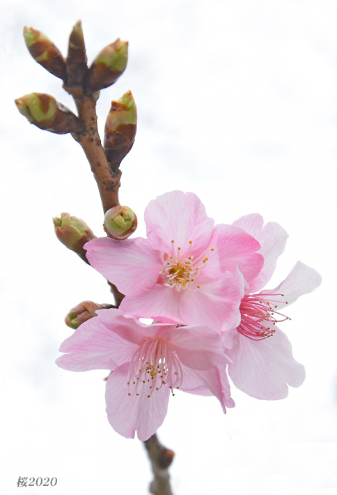 桜が見頃ですよ〜  ②_d0251161_15310923.jpg