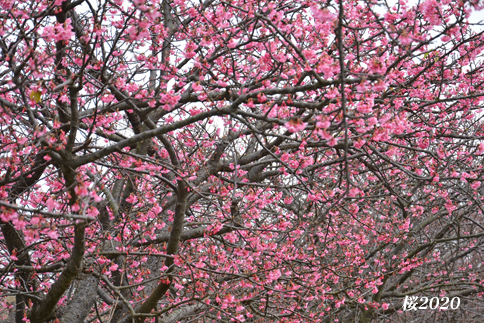 桜が見頃ですよ〜  ②_d0251161_15492841.jpg
