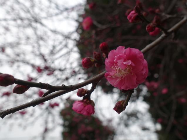 紅梅が咲きました_e0232277_11253002.jpg