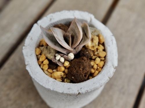 かわいい小盆栽風多肉鉢♪_d0179410_19230362.jpeg