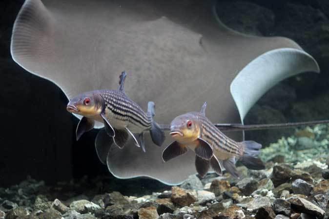 東京タワー水族館からやって来た魚たち~タイガーバルブ&パーカーホ(板橋区立熱帯環境植物館)_b0355317_21023416.jpg