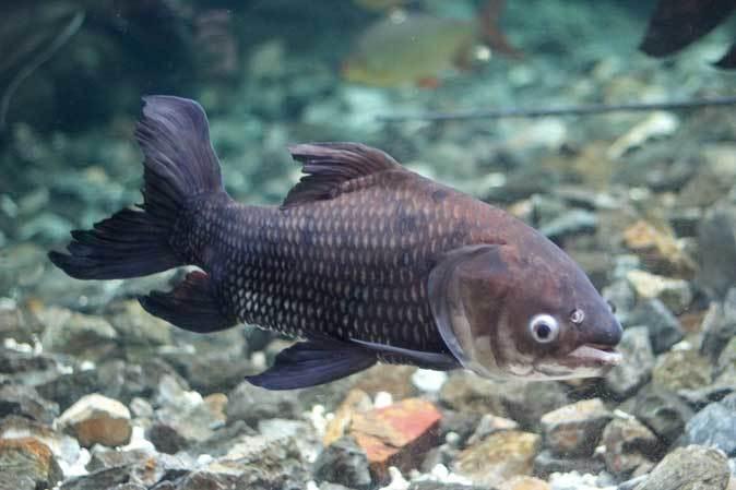 東京タワー水族館からやって来た魚たち~タイガーバルブ&パーカーホ(板橋区立熱帯環境植物館)_b0355317_21053543.jpg