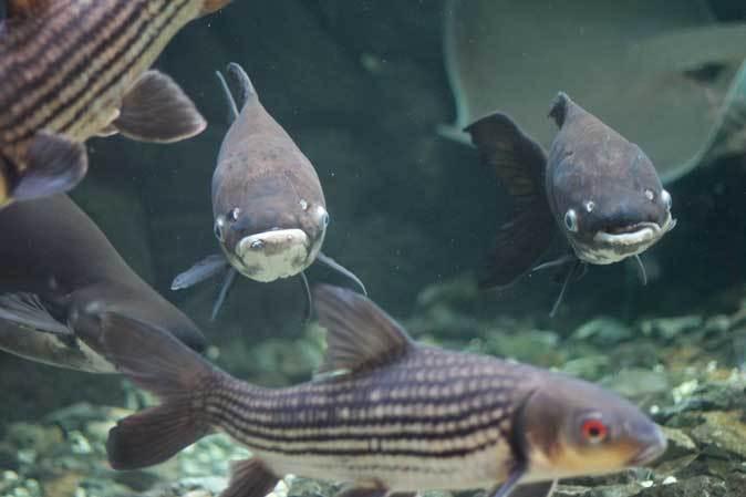 東京タワー水族館からやって来た魚たち~タイガーバルブ&パーカーホ(板橋区立熱帯環境植物館)_b0355317_21081171.jpg