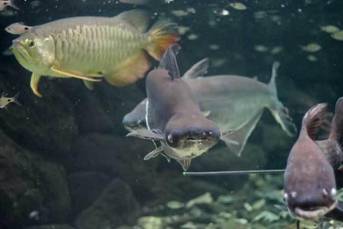東京タワー水族館からやって来た魚たち~タイガーバルブ&パーカーホ(板橋区立熱帯環境植物館)_b0355317_21093573.jpg