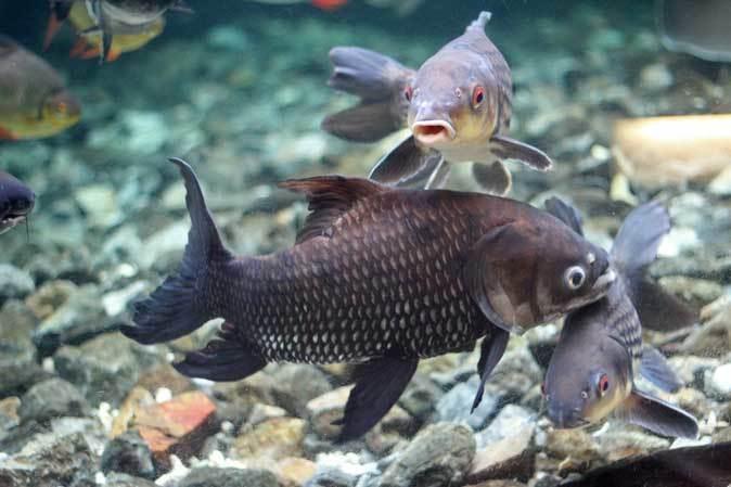 東京タワー水族館からやって来た魚たち~タイガーバルブ&パーカーホ(板橋区立熱帯環境植物館)_b0355317_21101102.jpg