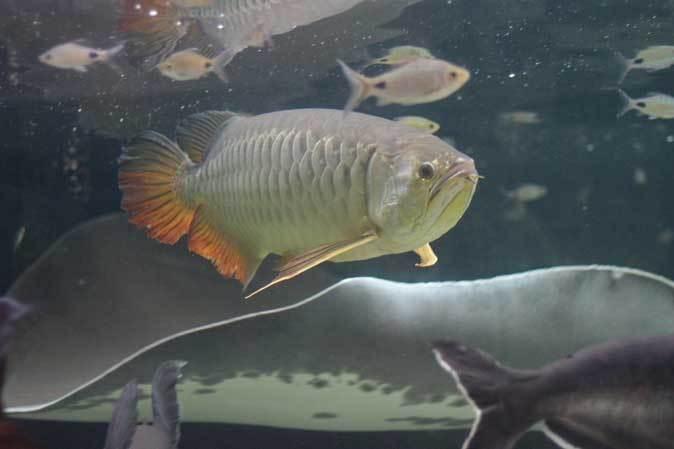 東京タワー水族館からやって来た魚たち~タイガーバルブ&パーカーホ(板橋区立熱帯環境植物館)_b0355317_21241721.jpg
