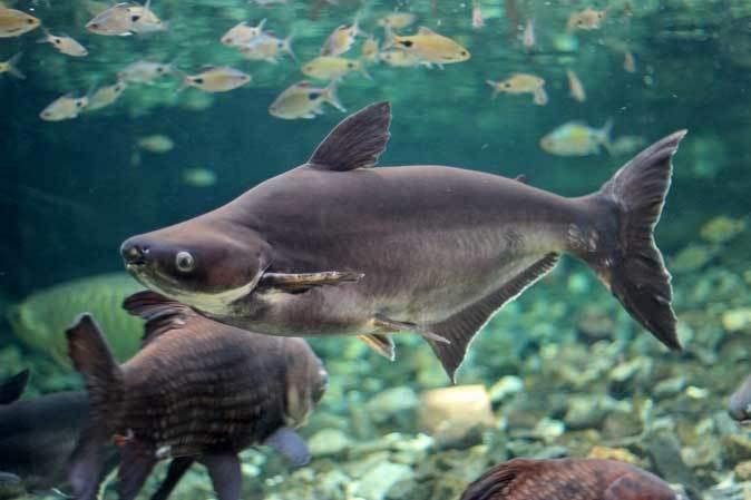 東京タワー水族館からやって来た魚たち~タイガーバルブ&パーカーホ(板橋区立熱帯環境植物館)_b0355317_21291788.jpg