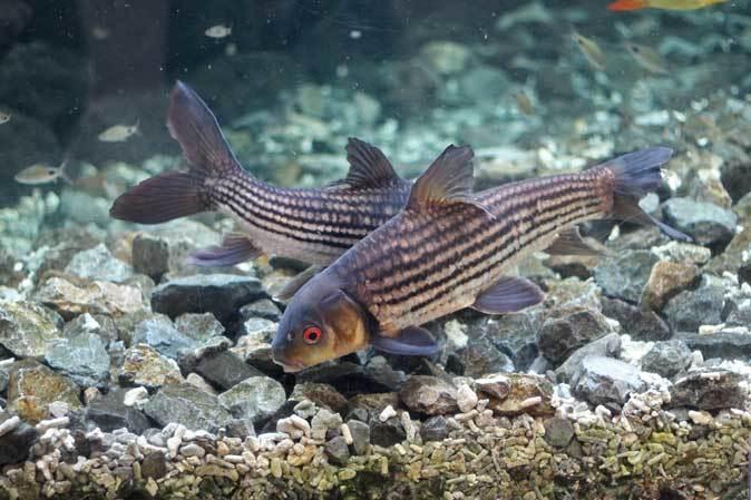 東京タワー水族館からやって来た魚たち~タイガーバルブ&パーカーホ(板橋区立熱帯環境植物館)_b0355317_21305059.jpg
