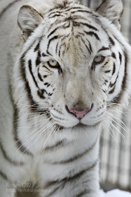2020.1.19 東北サファリパーク☆ホワイトタイガーのマリンくん【White tiger】_f0250322_2232173.jpg