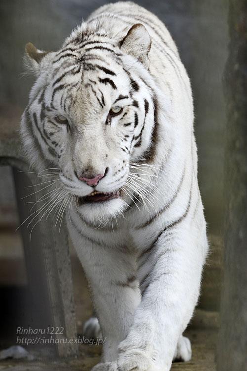 2020.1.19 東北サファリパーク☆ホワイトタイガーのマリンくん【White tiger】_f0250322_2232759.jpg
