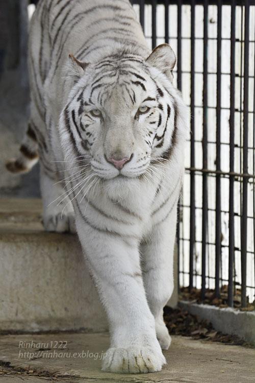 2020.1.19 東北サファリパーク☆ホワイトタイガーのマリンくん【White tiger】_f0250322_2234044.jpg