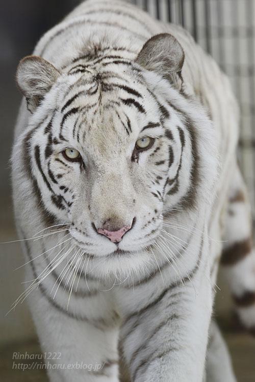 2020.1.19 東北サファリパーク☆ホワイトタイガーのマリンくん【White tiger】_f0250322_2243043.jpg