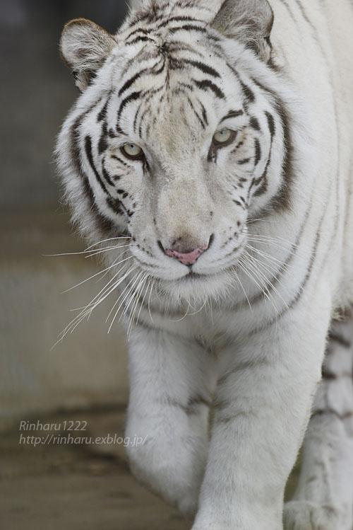 2020.1.19 東北サファリパーク☆ホワイトタイガーのマリンくん【White tiger】_f0250322_2243691.jpg