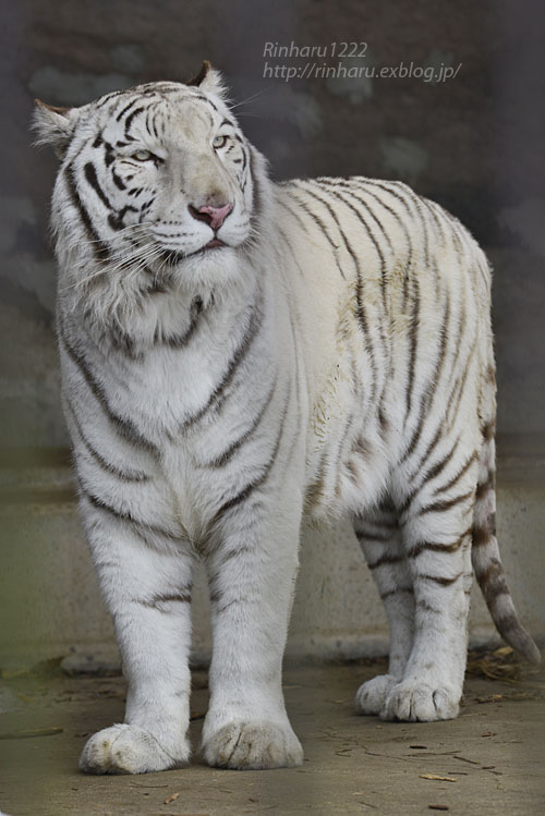 2020.1.19 東北サファリパーク☆ホワイトタイガーのマリンくん【White tiger】_f0250322_2244275.jpg