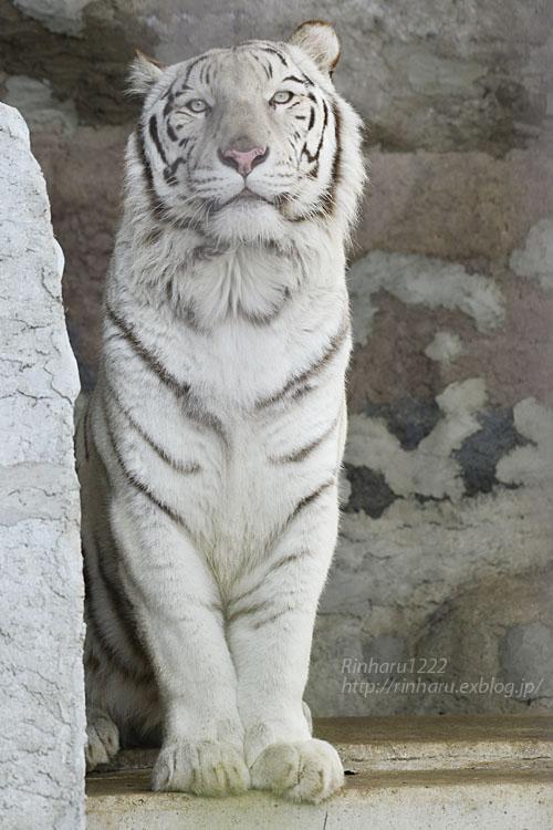 2020.1.19 東北サファリパーク☆ホワイトタイガーのマリンくん【White tiger】_f0250322_224956.jpg