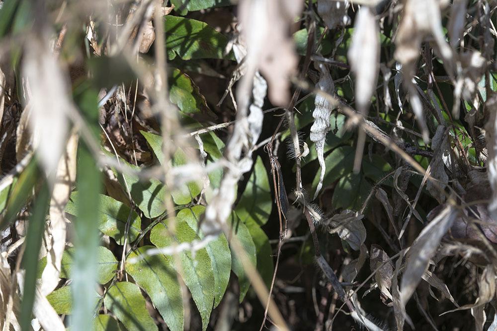越冬トンボ観察-15 ホソミイトトンボ(平塚-1)過去見たことのなかった越冬場所_f0324026_20352842.jpg