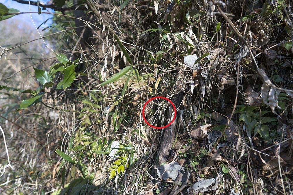 越冬トンボ観察-15 ホソミイトトンボ(平塚-1)過去見たことのなかった越冬場所_f0324026_20403638.jpg