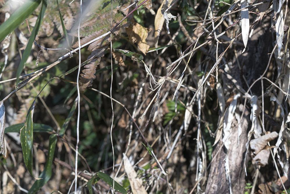 越冬トンボ観察-15 ホソミイトトンボ(平塚-1)過去見たことのなかった越冬場所_f0324026_20410451.jpg